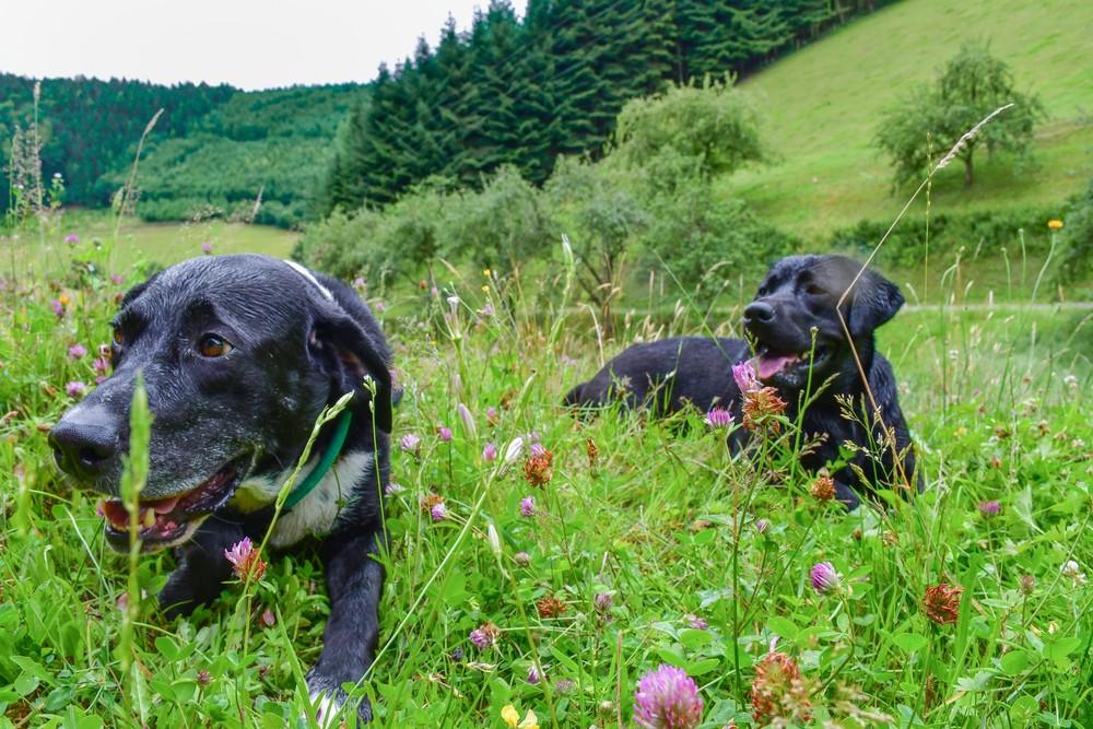 Hunde im Kinzigtal auf Wiese mit Schwarzwald-Panorama