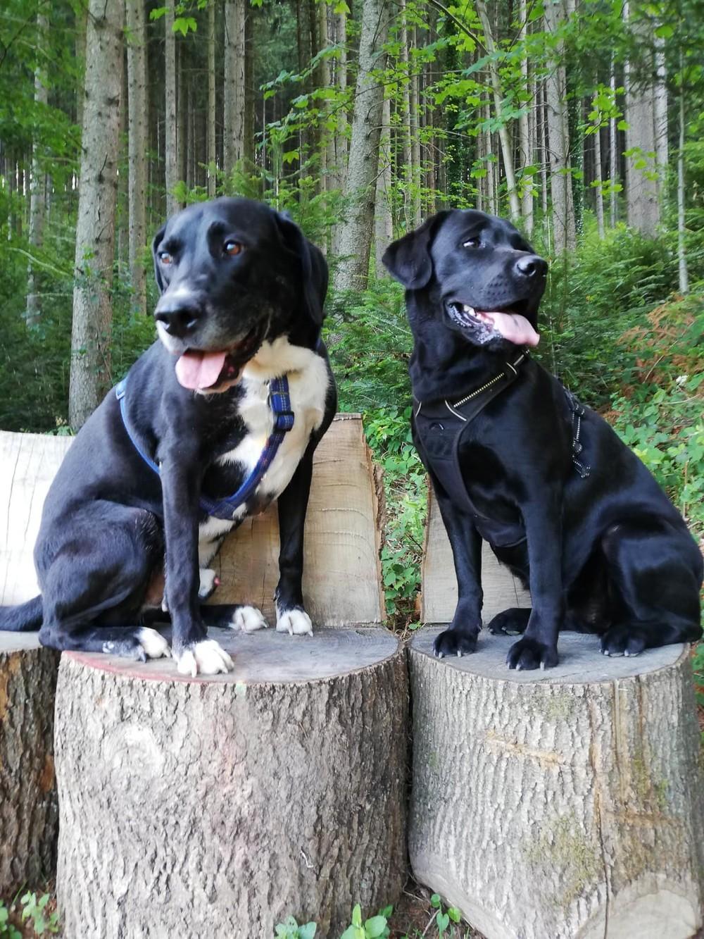 Hunde auf Baumstämmen im Kinzigtal